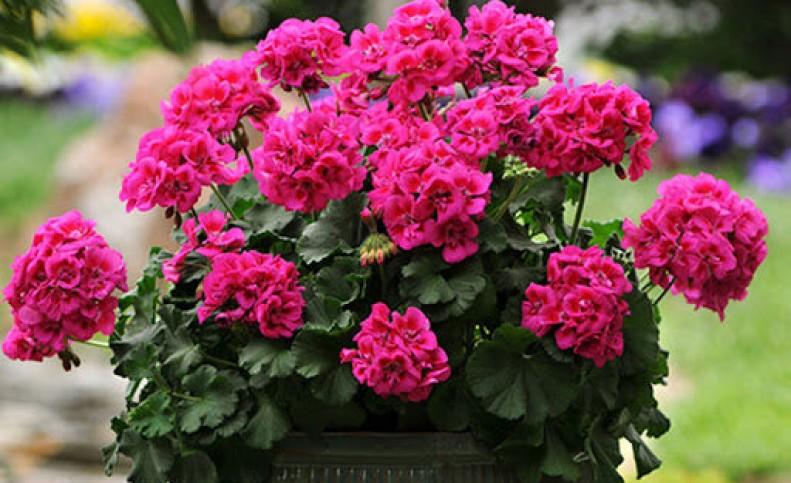 نکاتی کلیدی برای نگهداری از گل شمعدانی