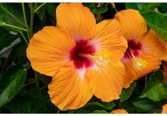اعصاب خود را با گل ختمی ارام کنید