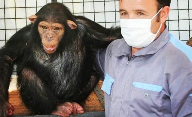 """""""باران""""، شامپانزه باغ وحش ارم امشب راهی کنیا میشود"""