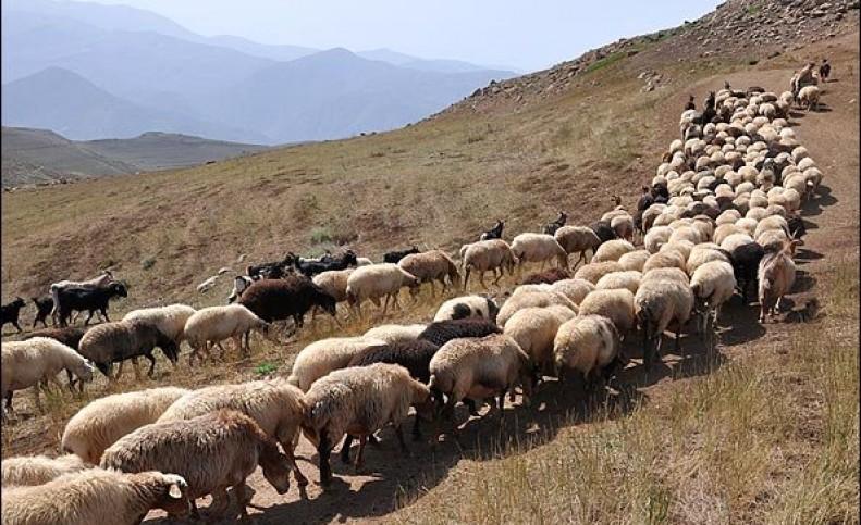 نرخ گوسفند در عید قربان مشخص شد/ تفاوت قیمت دام سبک و سنگین چقدر است؟