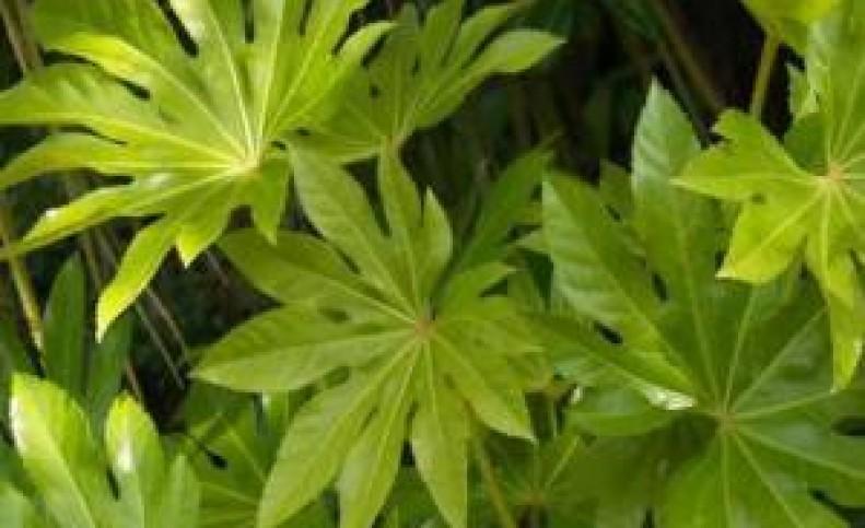 روش نگهداری از گیاه شیک آرالیای برگ پهن