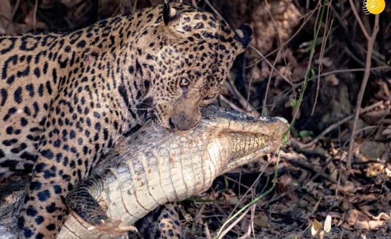 (تصاویر) شکار تمساح توسط جگوار